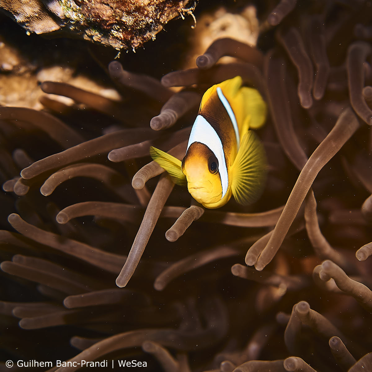 4. Copy of WeSea red sea clownfish